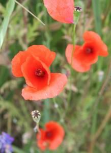 klatschmohnblüte