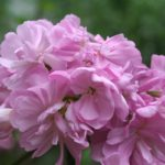rosa seifenkraut