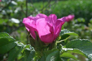 rosenwein