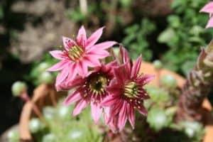 hauswurzblüte