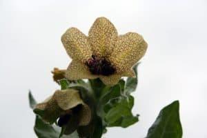 bilsenkrautblüte